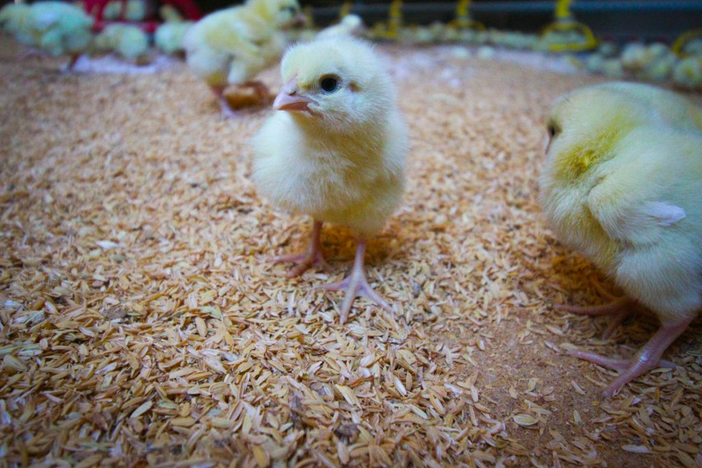 More Chicks