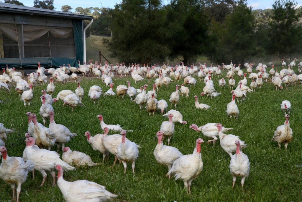 Our Organic Turkeys Runnning Free